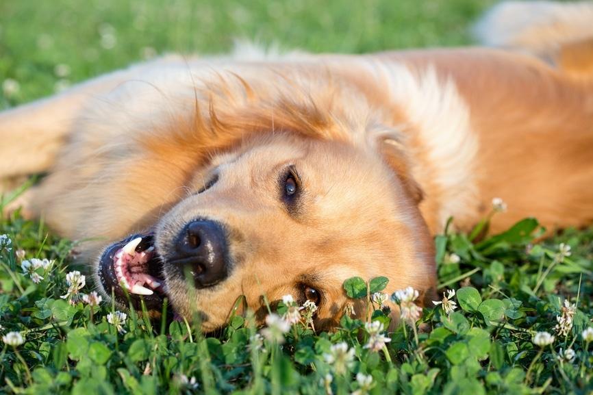 Garde de chien