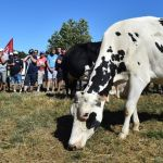 Cows graze as farmers block access to the Lactalis group headquarters, in Change, near Laval, northwestern France, during a protest to ask for a 'fair milk price' on August 23, 2016. Farmers of western France are on strike since August 22, 2016, to protest against the price of milk paid to producers below 260 euros per 1,000 liters by Lactalis group, the largest dairy products group in the world. / AFP PHOTO / JEAN-FRANCOIS MONIER