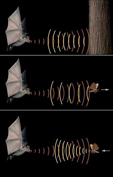 Les chauves-souris se repèrent et se déplacent grâce à l'écholocation